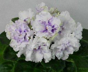 Фиалка Крупные махровые белые цветы в холодных голубых тенях и фрагментах, стёганные средне - зелёные листья. (2017 г.).