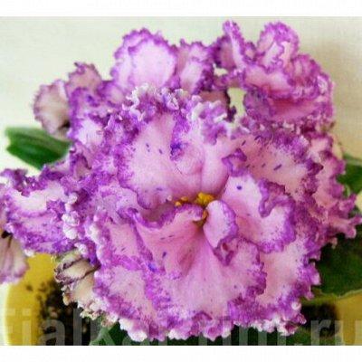 Комнатные цветы. Большой ассортимент и выбор пунктов выдачи — Фиалки. Листья укоренённые. — Декоративноцветущие