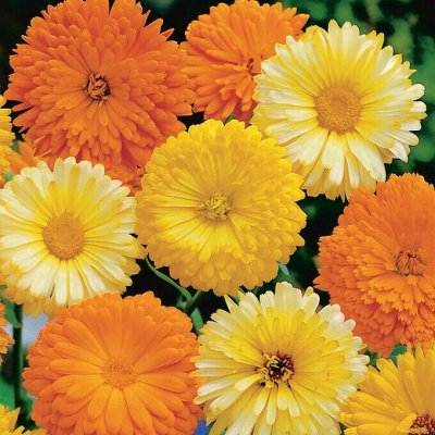 Семена цветов, Химия, Свободное в пути! — Календула — Семена многолетние