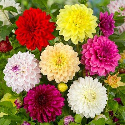 Семена цветов, Химия, Свободное в пути! — Гвоздики, Георгины — Семена многолетние