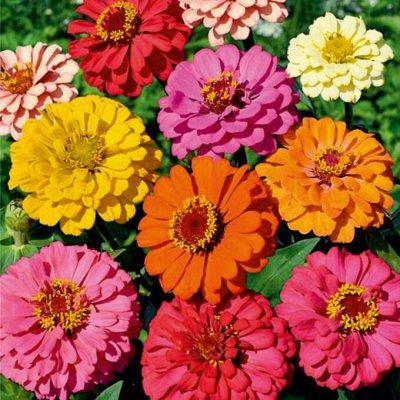 Семена цветов, Химия, Свободное в пути! — Циннии — Семена многолетние
