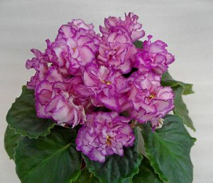 АВ - Розовые розы
