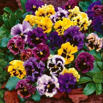 Семена цветов, Химия, Свободное в пути! — Василек, Виола — Семена многолетние