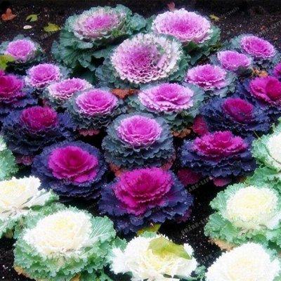 Семена цветов, Химия, Свободное в пути! — Капуста декоративная, Космея — Семена многолетние