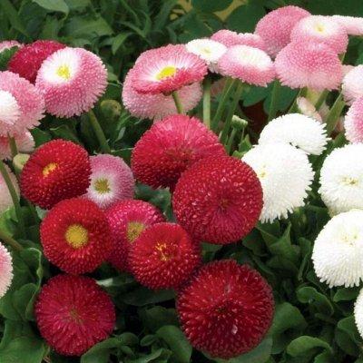 Семена цветов, Химия, Свободное в пути! — Лобелия, Маргаритка — Семена многолетние