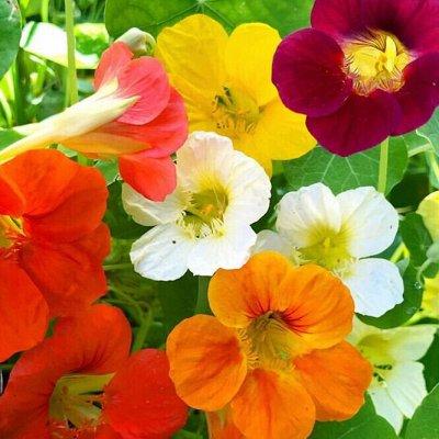 Семена цветов, Химия, Свободное в пути! — Настурция, Сальвия — Семена многолетние