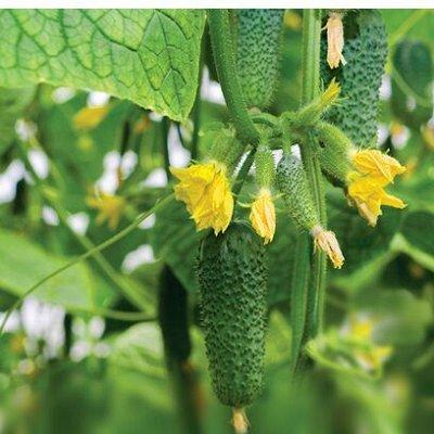 Семена от бегонии до петунии, а также семена овощей и зелени — Советы дачникам - самые удачные сорта огурцов — Семена овощей