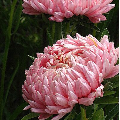 🏡Семена ☘ + Микрозелень + Удобрения — Астры - королевы сада — Семена многолетние