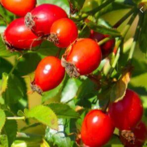 Ядро кедрового ореха, ассортимент орехов в наличии  — шиповник Крупный 150р — Мед