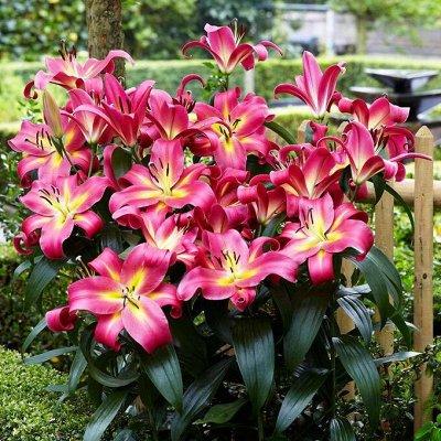 Черная лилия - диковинка сада_Экспресс — Гибридные лилия-деревья размер луковиц L — Декоративноцветущие