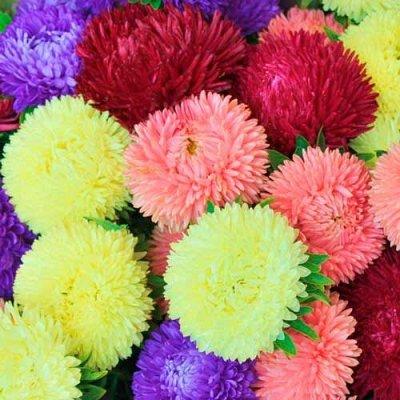 Дачный сезон! НЕ ПРОПУСТИ! Более 2000 видов семян!   — Цветы однолетние Астры — Семена однолетние
