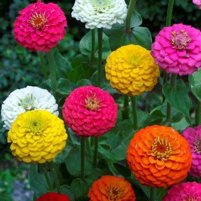 Дачный сезон! НЕ ПРОПУСТИ! Более 2000 видов семян!   — Цветы однолетние Цинния — Семена однолетние