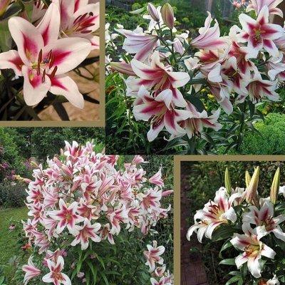 Черная лилия - диковинка сада_Экспресс — Гибридные лилии-деревья размер луковиц XL-2XXL — Декоративноцветущие