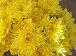 Хризантема, Мультифлора Baltica Yellow