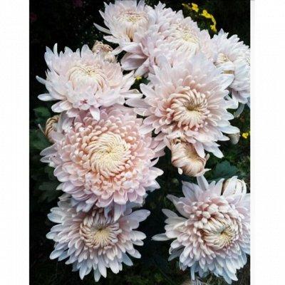 Мир хризантем (Раздача с 15 мая 2022г) — 2-Корейские хризантемы зимующие в грунте