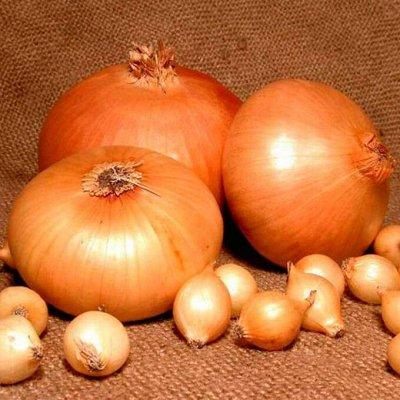 Мудрый дачник🌱 Лук севок Голландия. Семена. Удобрения🤩 — Лук Севок Штуттгартер Стенфилд. Голландия — Семена овощей