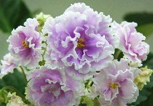 Фиалка Махровые, бахромчатые, розово-сиреневые цветы с широким белым кантом и редкими синими крапинками по лепесткам. Ровная зеленая листва.