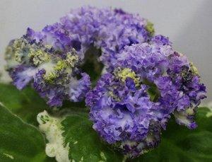 Фиалка Густомахровые, рюшастые бело - голубые цветы - розочки очень плотной фактуры контрастно смотрятся на слегка волнистой пестролистной розетке. (Описание автора).