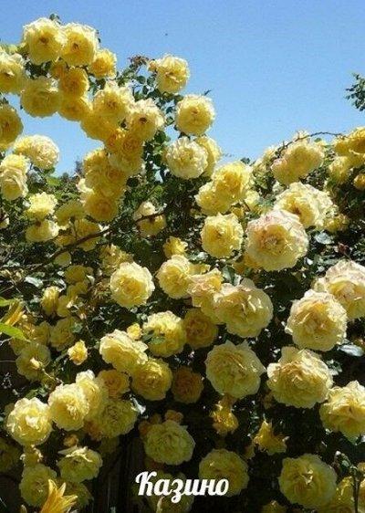 Новинки Плодовые саженцы двухлетки! — Саженцы  Розы — Декоративноцветущие