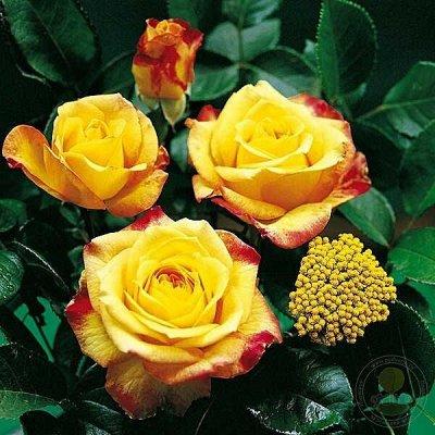 Кора сибирской лиственницы 60л. От 396 руб! — Саженцы  Розы — Декоративноцветущие