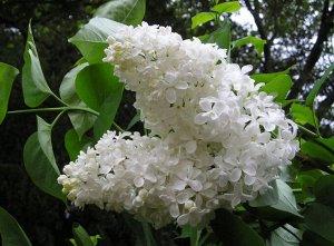 Саженцы Сирень Белая обыкновенная в Тубе