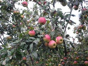 Саженцы Яблоня Осеннее полосатое в ТУБЕ