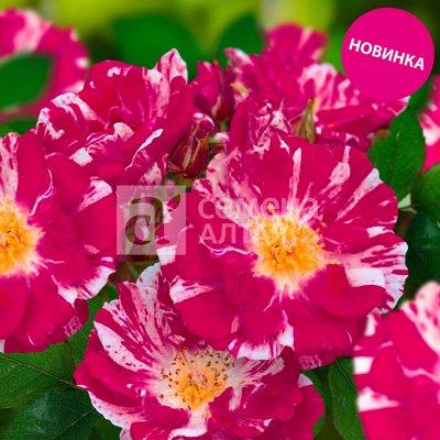 Семена Алтая. Луковичные, Розы, Кустарники, Виноград — Розы — Декоративноцветущие