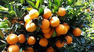 Апельсин свежий (Египет)