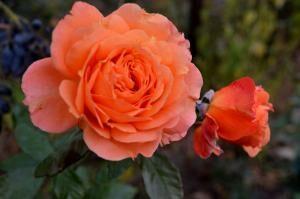 Роза флор. Эссель де ла Мари ЭС