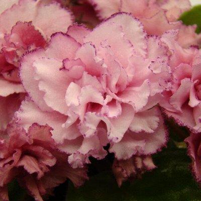 Цветочная - много новинок😍    — Свежесрезанные листы фиалок — Декоративноцветущие