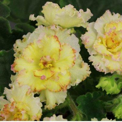 Цветочная - много новинок😍    — укорененные листы фиалок — Декоративноцветущие
