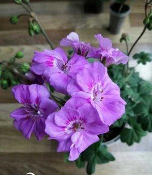 Ю Гамаюн Пеларгония из группы Зонартики с крупными розовыми цветками. От центра цветка идет темно-розовый мазок. Куст достаточно компактный для зонартика, цветение обильное.