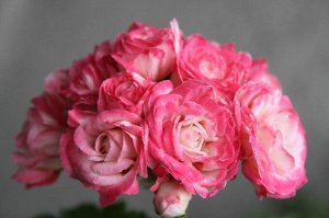 Denise Розебудная (розоцветная) зональная пеларгония.  Крупные густомахровые нежно-розовые цветы с широкой розовой каймой, с переливами от ярких до нежных тонов. Цветы полностью не раскрываются, всегд