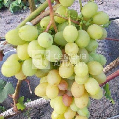 Семена Алтая. Луковичные, Розы, Кустарники, Виноград — Виноград — Плодово-ягодные