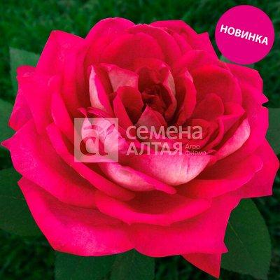Семена в наличии! и многое другое — Розы СКИДКА -30% — Декоративноцветущие