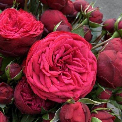 Ах, розы!🌹 Невероятные красавицы для вашего сада❤ — Пылкие и страстные — Декоративноцветущие