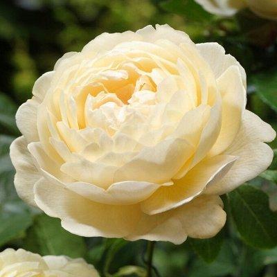 Ах, розы!🌹 Невероятные красавицы для вашего сада❤ — Нежные и романтичные — Декоративноцветущие