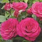 Роза спрей Хи Хо