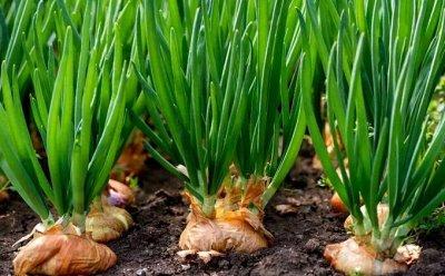 Семена: Цветы Овощи Цены от 6 руб — ❤ Семена овощных культур. Лук — Семена овощей