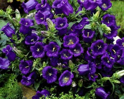 Все для сада и огорода Семена: Цветы Овощи Цены от 10 руб  — Семена цветов. Двулетники — Семена двулетние
