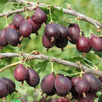 Весенняя посадка: Вишня, Барбарис и Облепиха 🍒 — Крыжовник — Плодово-ягодные