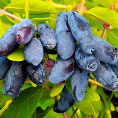 Весенняя посадка: Вишня, Барбарис и Облепиха 🍒 — Жимолость — Плодово-ягодные