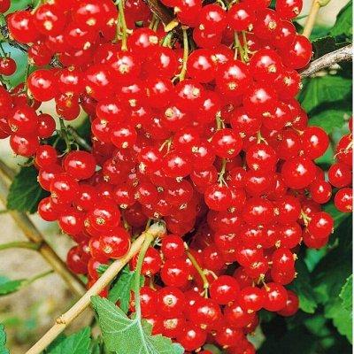 Осенняя посадка: Малина: Красная, Черная и Белая 🍓 — Смородина