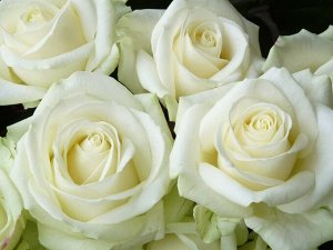 Роза чайногибридная Аваланж