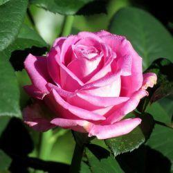 Роза чайно гибридная Фосфор