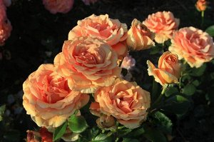 Роза чайно гибридная Ашрам