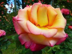 Роза чайно гибридная Глория Дэй