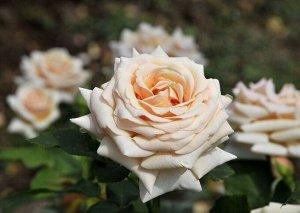Роза чайно гибридная Пол Рикард