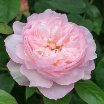 Розы Сибири - шикарные новинки! — Новинки — Декоративноцветущие