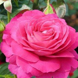 Роза Барон Очень красивая чайно-гибридная роза! Окрас лепестков двухцветный: с наружней стороны пурпурно-малиновые, с внутренней - светло-малиново-розовые с белым к основанию. Цветки бокаловидные, диа